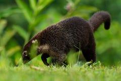 白被引导的浣熊-美洲浣熊narica,叫作家庭浣熊科浣熊的长鼻浣熊、成员和他们的亲戚 免版税库存照片
