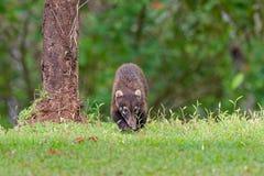 白被引导的浣熊-美洲浣熊narica,叫作家庭浣熊科浣熊的长鼻浣熊、成员和他们的亲戚 免版税库存图片