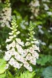 白色开花的毛地黄属植物在庭院里 图库摄影