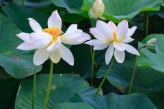 白色开花的莲花夫妇在绿色叶子背景关闭的看法 免版税库存图片
