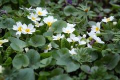 白色樱草属在花圃里 春日在公园,报春花 免版税库存照片