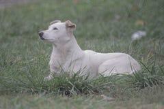 白色,大狗品种伴侣狗在草,在背景的特写镜头画象说谎 免版税库存照片