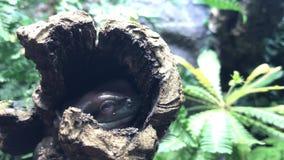 白色` s雨蛙 亦称矮胖的青蛙 股票录像