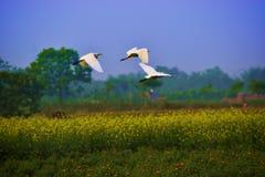 白鹭飞行三鸟白色天空狂放的生活 库存照片
