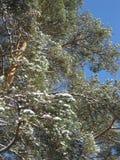 用天空蔚蓝盖的冬天森林 免版税库存照片