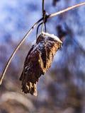 用雪包括的干燥叶子 免版税图库摄影