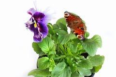 紫罗兰和蝴蝶在白色背景 免版税库存照片