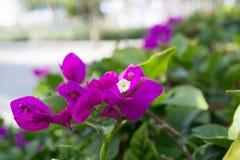 紫色春天花宏指令 免版税库存照片