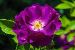 紫色罗斯特写镜头玫瑰园的 免版税库存图片