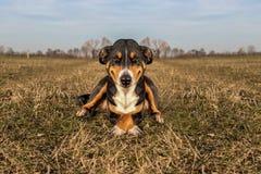 疯狂的狗笑,Appenzeller Sennenhund 库存图片