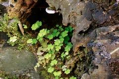 生长在岩石的三叶草 库存照片