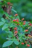生长在森林里的野生莓果 库存照片