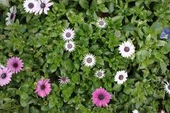 生长在春天的花雏菊在花床上 库存图片