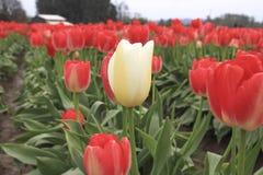 生长在红色郁金香行的白色郁金香 库存图片