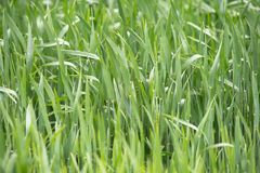生长在领域的年轻麦子幼木 生长在土壤的绿色麦子 关闭在发芽黑麦农业在领域 免版税图库摄影