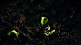 生长在groung sprigtime timelapse的植物 Germitating发芽种子 演变概念,新的生命周期 影视素材