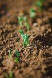 生长在Th庭院里的豌豆小植物-春天到 库存例证