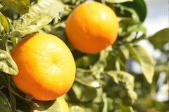 生长新鲜的成熟的桔子在阳光下 库存照片