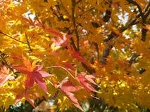 紅葉 red leaves. 紅葉 & x28; momiji / kōyō& x29; autumn red leaves in Kyoto, Japan stock photos