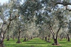 çanakkale,  olive Stock Photo