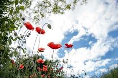 草甸秀丽有狂放的红色鸦片的和天空蔚蓝、草叶,光束和反对的光,在看法下,关闭 库存图片