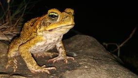 菲律宾牛蛙 库存图片
