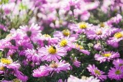 菊花在夏天庭院里 蝴蝶下落花卉花重点模式黄色 室外 花wildfield和年鉴 免版税库存图片