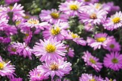 菊花在夏天庭院里 蝴蝶下落花卉花重点模式黄色 室外 花wildfield和年鉴 库存图片