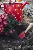 菊花准备好种植 免版税库存照片