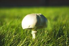 落叶松蕈arvensis,伞菌科,生长在草草甸 图库摄影