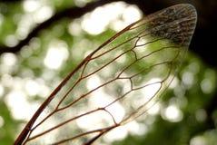 蝉Cicadoidea CvrÄ  ak 库存照片