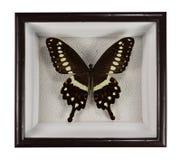 蝴蝶在白色背景隔绝的框架的Papilio Lormieri 库存照片