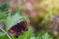 蝴蝶erebia水母在绿色叶子的森林地卷发 免版税库存图片