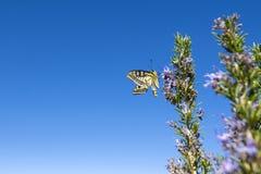 蝴蝶Papilio machaon 免版税库存照片