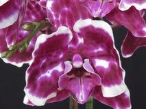 被察觉的黑暗的樱桃特写镜头与白色外缘兰花飞蛾兰花植物的在黑背景 库存照片