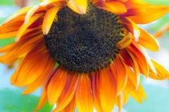 被弄脏的橙色普拉多向日葵 库存照片