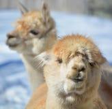被驯化的羊魄美国外观camelid吃草听到的骆马照片类似于小的南种类 库存照片