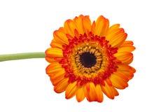 被隔绝的花有白色背景 免版税库存图片