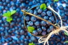 被采摘的蓝莓新鲜 图库摄影