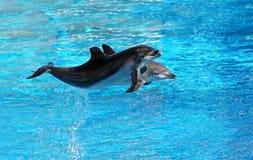 装瓶执行跃迁,大海背景的被引导的海豚 免版税库存照片