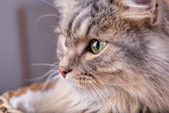 西伯利亚猫在篮子外面朝左边看 图库摄影