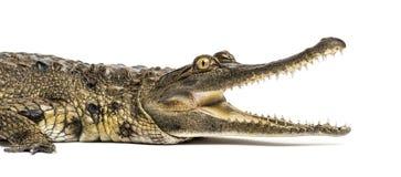 西非苗条装管嘴的鳄鱼,3岁,被隔绝 免版税图库摄影