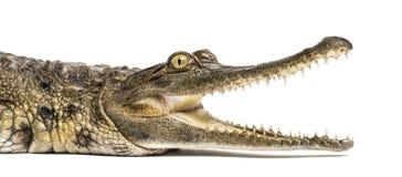 西非苗条装管嘴的鳄鱼,3岁,被隔绝 免版税库存图片