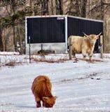 观看婴孩的高地母牛 库存照片