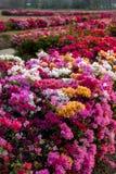 许多九重葛花在干旱的庭院里 库存图片