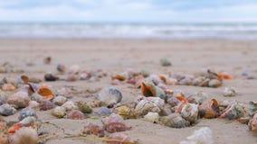 许多美好的壳rapan在黑海海岸海波浪的沙子 股票视频
