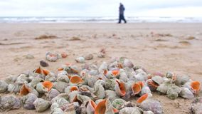 许多美好的壳rapan在黑海海岸海波浪的沙子 股票录像