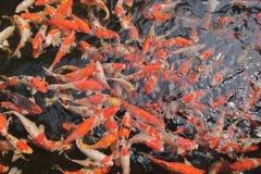 许多花梢鲤鱼鱼在非常干净和清楚水中 库存照片