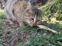 设法一只被注视的猫吃 免版税库存照片