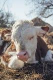 说谎在地面上的小牛 免版税库存照片